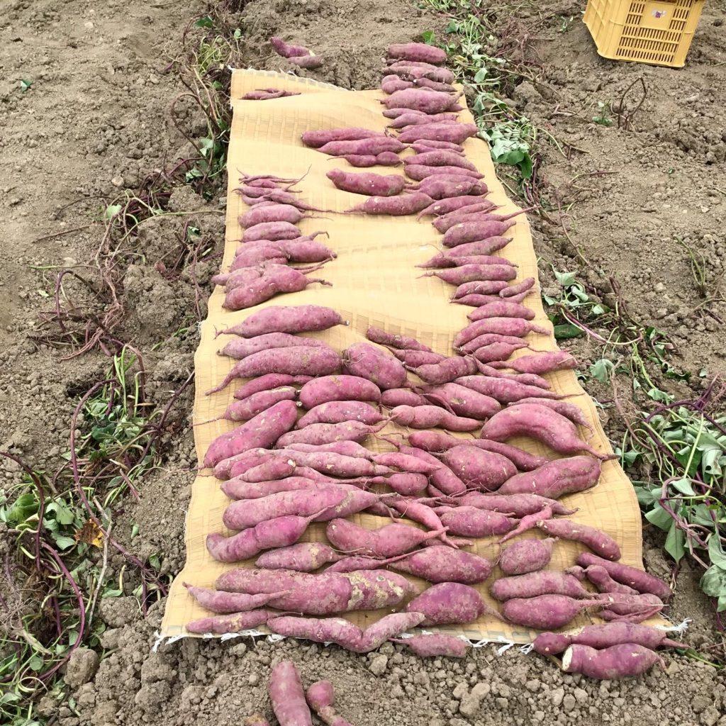 さつま芋(紅あずま)の収穫